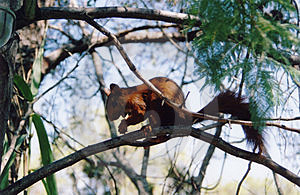 Red Squirrel Free Stock Photos