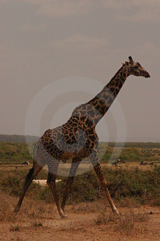 Mara giraffe 1,04 Royalty Free Stock Images