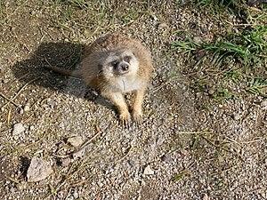 Meerkat Stare Stock Photo