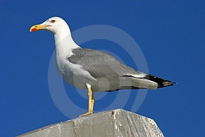 Seagull Standing And Watching Stock Image