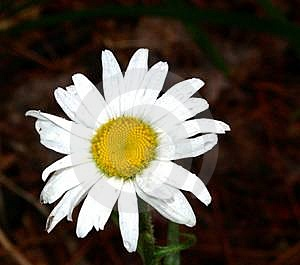 Daisy & Bug Stock Images