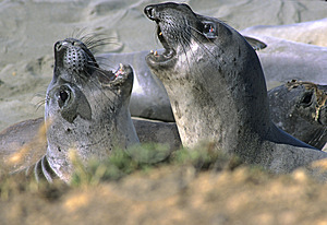 Juvenile Elephant Seals Free Stock Photography