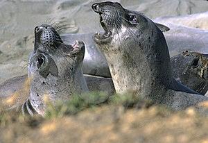 Juvenile Elephant Seals Royalty Free Stock Photography