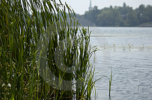 Reeds By The Lake Free Stock Image