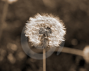 Dandilion Free Stock Photos