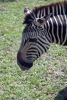 Zebra's Head Stock Photo