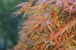 Japanese Maple Leaf Stock Photography