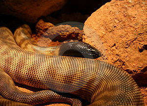 Blackheaded Snake Stock Image
