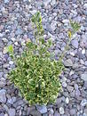Plant in between pebbles Royalty Free Stock Photography