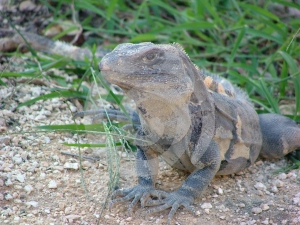Lizard Royalty Free Stock Image - Image: 606516