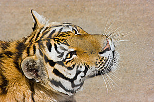 Hungry Tiger Royalty Free Stock Photos - Image: 6004948