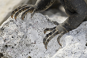 Closeup Of Claws Of Iguana Royalty Free Stock Image - Image: 6006706