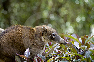 Coati In Forest Stock Photography - Image: 6006812