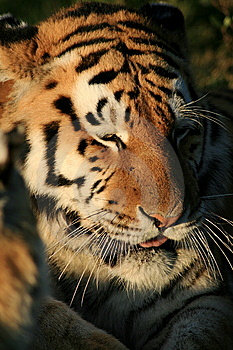 Captive Tiger  Stock Photography - Image: 6008072