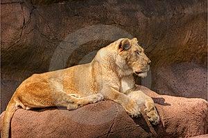 HDR-Leeuw Op Een Rots Royalty-vrije Stock Fotografie - Afbeelding: 6009147