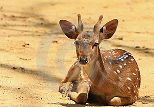 Spotted Deer Royalty Free Stock Photos - Image: 6026368