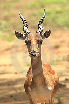 Baby Blackbuck Stock Photo - Image: 6026370
