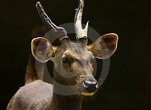 Blackbuck Royalty Free Stock Image - Image: 6026376