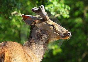 Blackbuck Royalty Free Stock Images - Image: 6026379