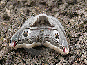 Night Butterfly. A Moth. Stock Images - Image: 6037474