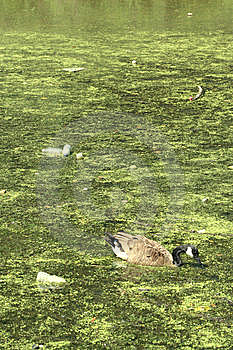 Duck In Pollution Royalty Free Stock Photo - Image: 6040555