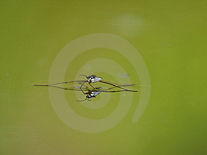 Water Striders On Water. Reflections In A Pond. Stock Photo - Image: 6043360
