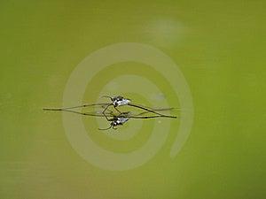 Striders Stawowa Odbić Wody. Zdjęcie Stock - Obraz: 6043360