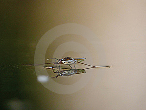 Water Striders On Water. Reflections In A Pond. Stock Photo - Image: 6043390