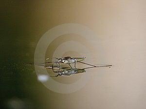 Waterstriders Op Water. Bezinningen In Een Vijver. Stock Foto - Afbeelding: 6043390