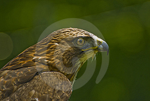Immature Bald Eagle Royalty Free Stock Images - Image: 6049349