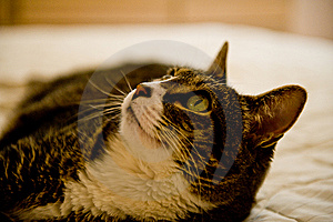 Cat Looking Up Royalty Free Stock Image - Image: 6049456