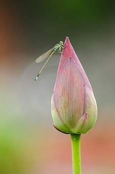 Damselfly On Lotus Bud Stock Photography - Image: 6052102
