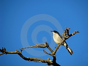 Common Fiscal Shrike Stock Photography - Image: 6054212