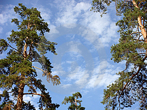 Pines On A Background Of The Sky. Stock Photography - Image: 6054262