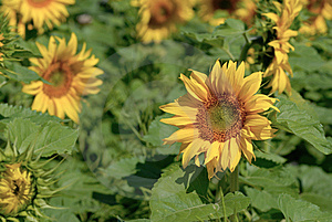 Sunflower Field Royalty Free Stock Image - Image: 6056156