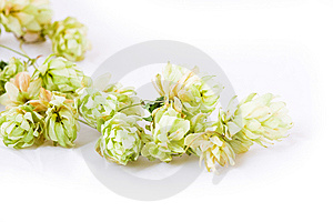 Hop Stock Images - Image: 6058634