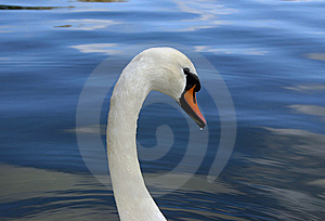 Swan1 - Droplet On Beak Royalty Free Stock Photography - Image: 6059287