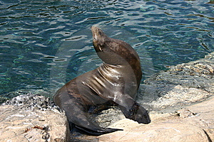 Seal On Waters Edge Royalty Free Stock Images - Image: 6060909