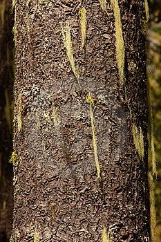 Methuselah's Beard Lichen Stock Photo - Image: 6066940