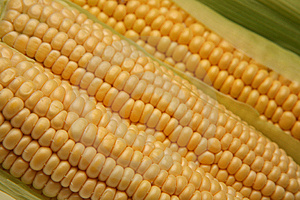 Fresh corn on the cob Free Stock Images