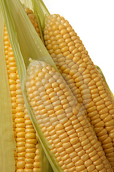 Ears of sweet corn Free Stock Images