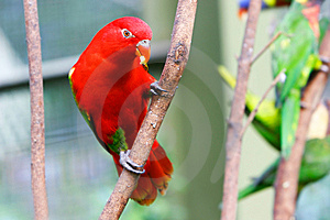Red Lovebird Stock Images - Image: 6073274