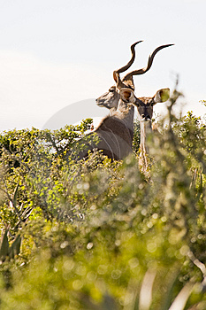 Magnificent Kudu Stock Images - Image: 6073884