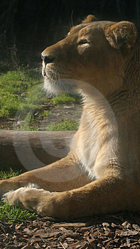 Lionness Sunbathing Stock Images - Image: 6075214