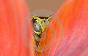 Wasp Royalty Free Stock Photography - Image: 6083597