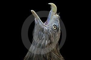 Bird Of Prey Royalty Free Stock Photo - Image: 6086525