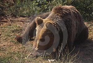 European Brown Bear Stock Image - Image: 6090431