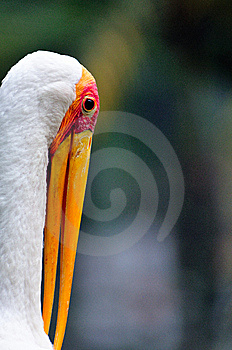 Yellow Billed Stork 4 Royalty Free Stock Photos - Image: 6092128