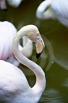 Flamingo Portrait 8 Stock Photography - Image: 6092402