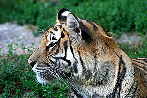 Tiger Stock Image - Image: 6096061